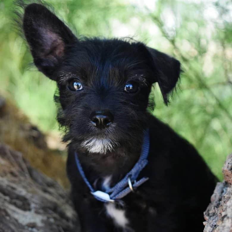 Chihuahua Miniature Schnauzer mix dog