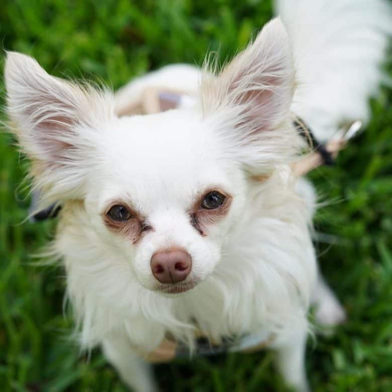 Chihuahua and Papillon mix dog
