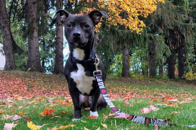 Chihuahua and Pitbull mix dog sitting on the fallen autumn leaves