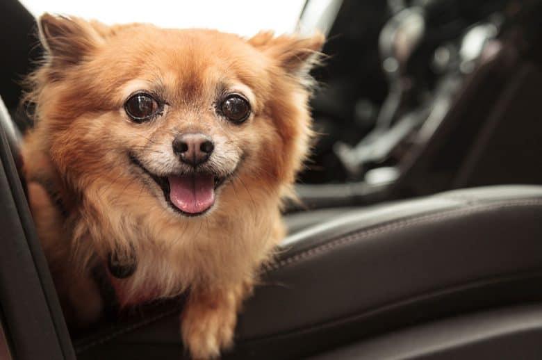 Chihuahua and Pomeranian mix dog inside the car