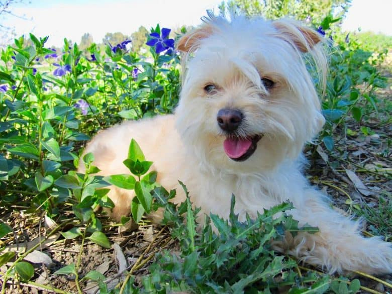 Chihuahua and Poodle mix dog lying in a flowery field