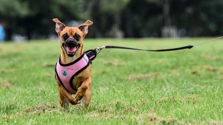 Chihuahua and Pug mix running in the field