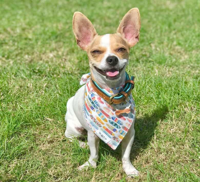 Chihuahua and Terrier mix dog wearing scarf
