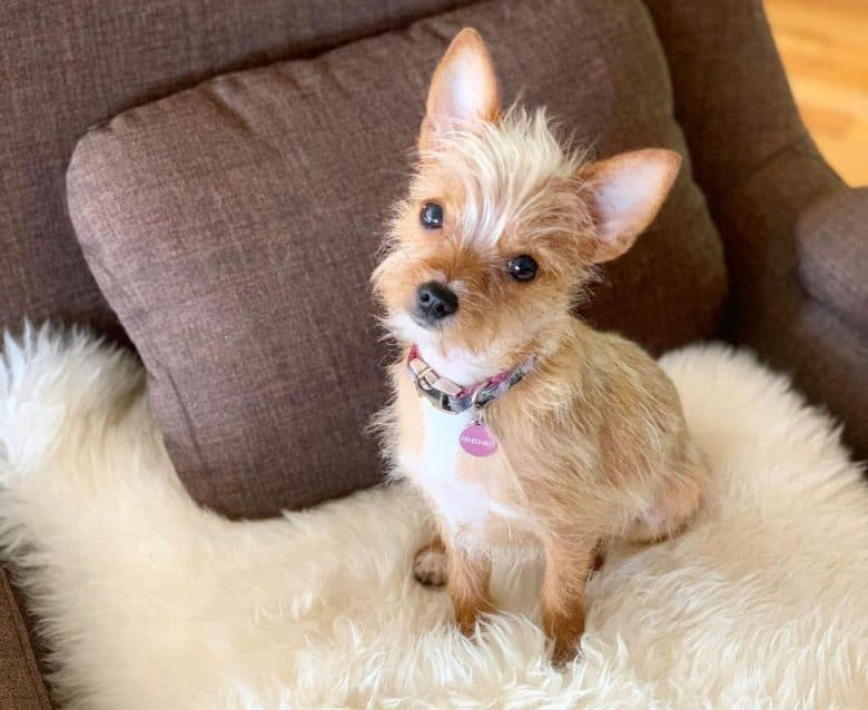 Young Chihuahua and Yorkie mix dog sitting on the sofa chair