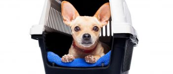 Chihuahua dog inside the crate