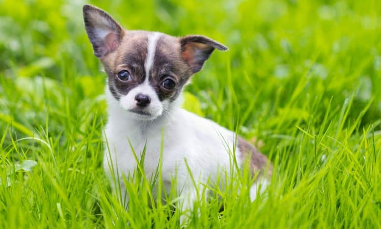 Chihuahua dog sitting on the grass