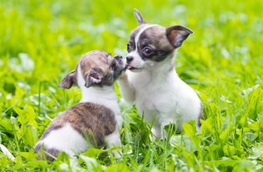Active Chihuahua puppies playing on the grass