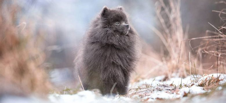Chilled blue Pomeranian dog in a snow