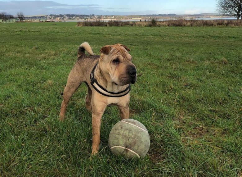Chinese Shar Pei playing ball at the park
