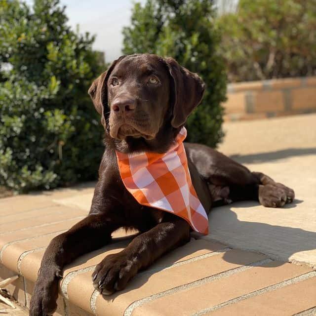 Chocolate Labrador Retriever dog wearing checkered scarf