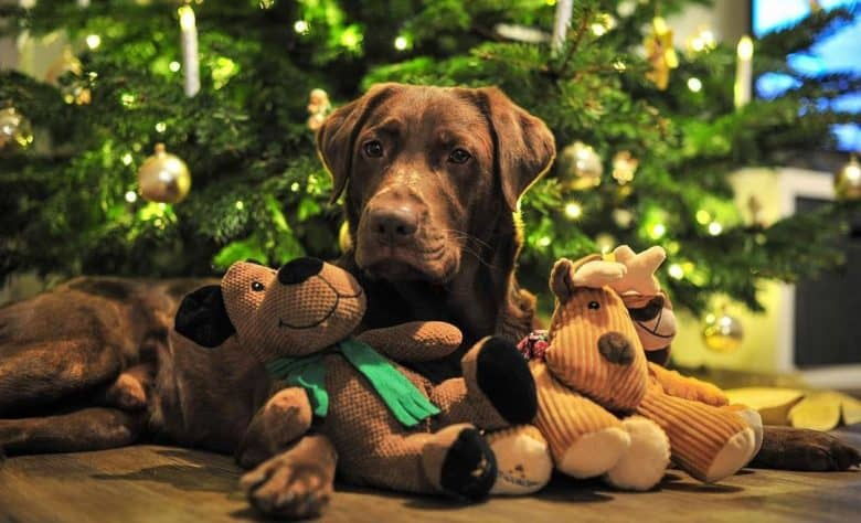 Chocolate Labrador Retriever lying near the Christmas tree