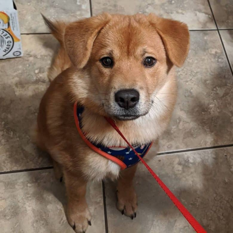 Chow Beagle mix dog portrait