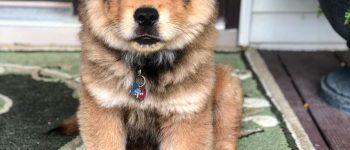 A Chow German Shepherd mix puppy sitting and looking cute