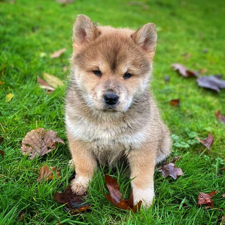 a Chusky puppy in the grass