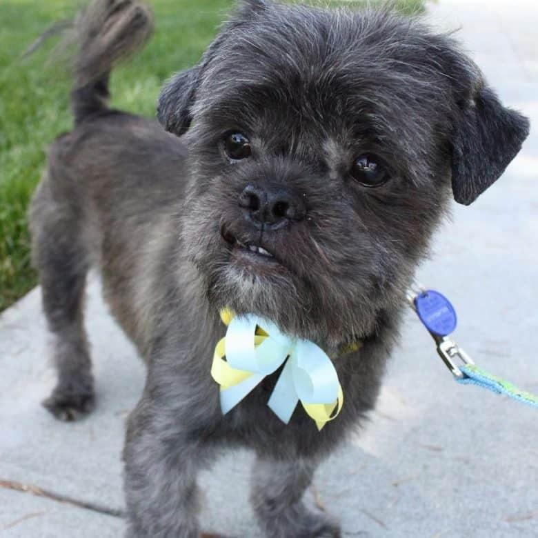 a close-up image of an Affen Tzu puppy