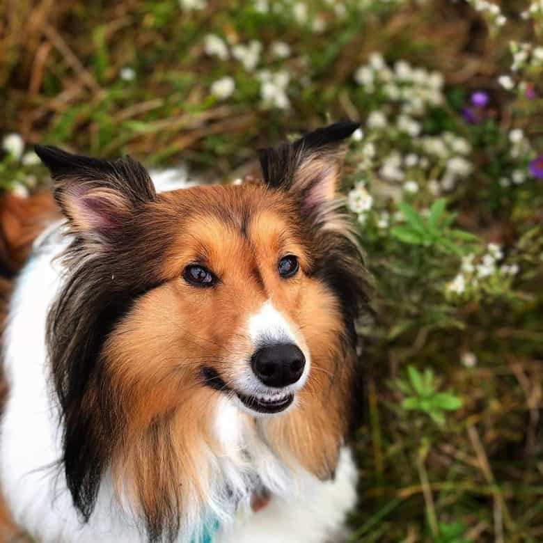 A close-up image of a Collie