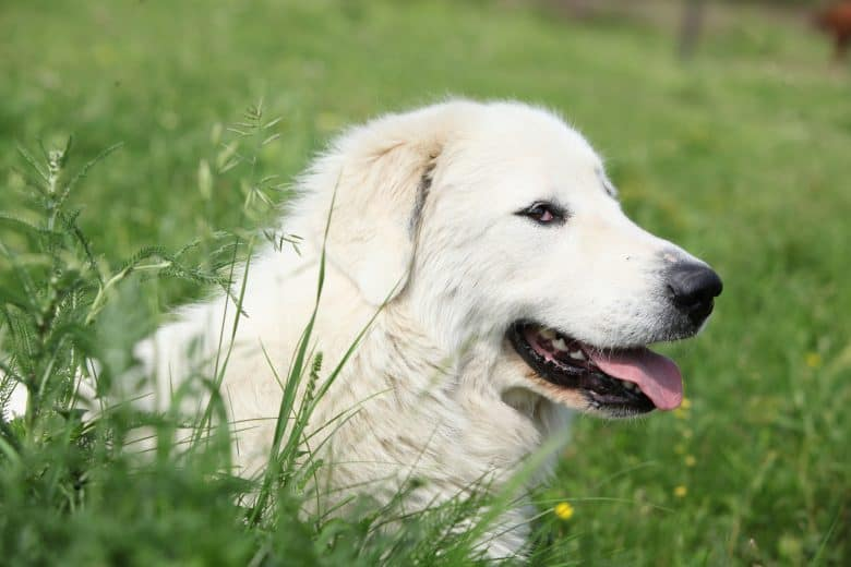 Close-up portrait of Great Pyrenees dog lying on the grass