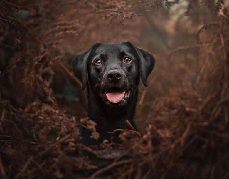 Close-up Portrait of Black Labrador Retriever dog
