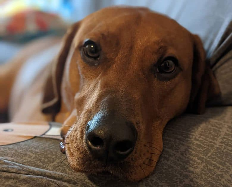 Lab Hound mix dog close-up portrait
