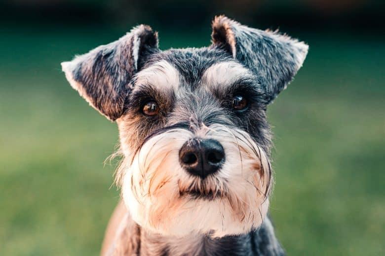 Close-up portrait of Standard Schnauzer dog