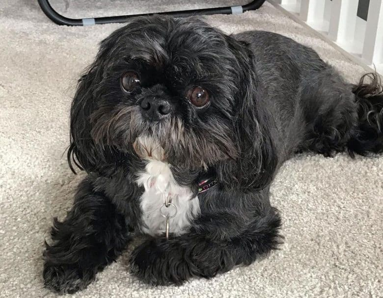 Collar Shih Tzu dog lying on the carpet