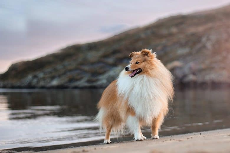 A Collie near an ocean looking on waters