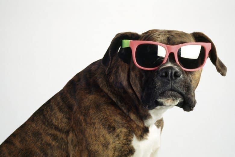 Cool Boxer dog wears a sunglass