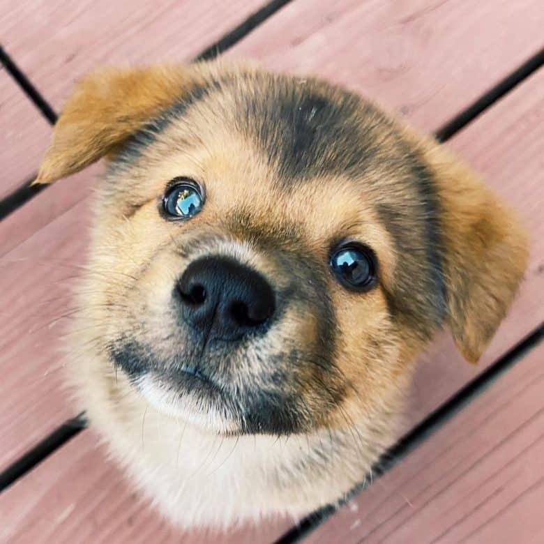 Adorable Corgi Chow mix dog puppy