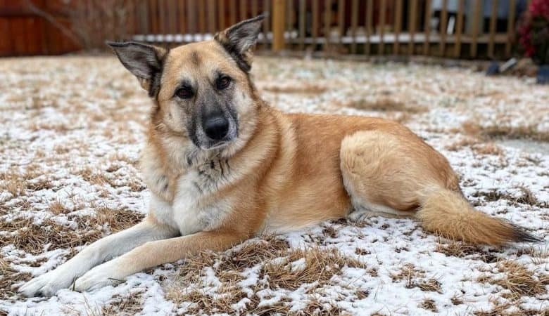 a curious looking Shepnees laying on the snow