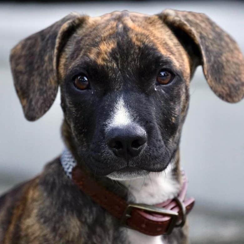 A cute Dachshund Pitbull mix puppy