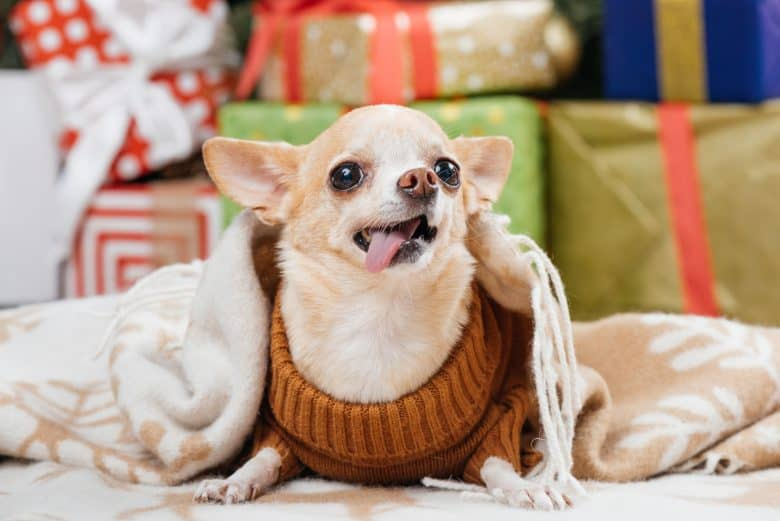 Cute Chihuahua with its dress