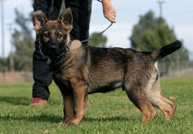 Cute German Shepherd puppy ready for exercise