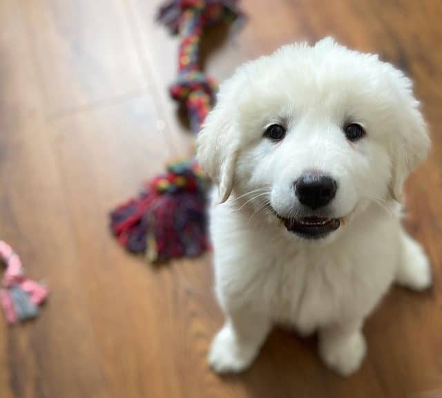 Cute Great Pyrenees dog puppy
