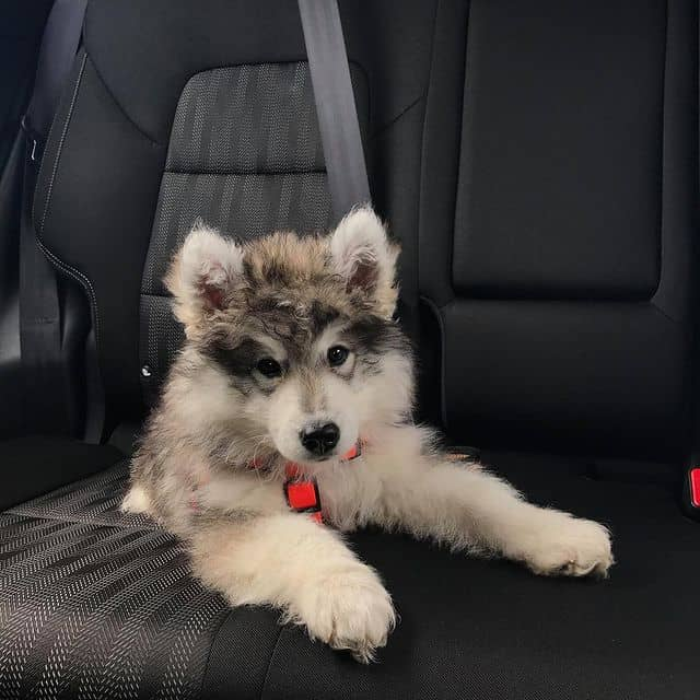 Cute Husky Poodle mix puppy on the car seat