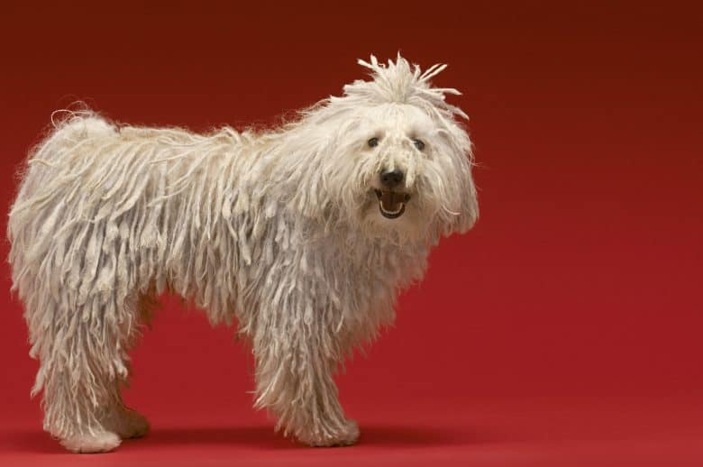 A cute Komondor dog smiling while standing on a red background