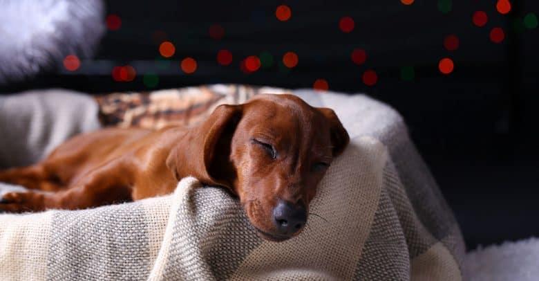 Cute young Dachshund dog sleeping