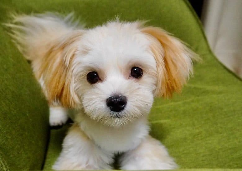 A cute Maltese Pom mix puppy laying on green chair