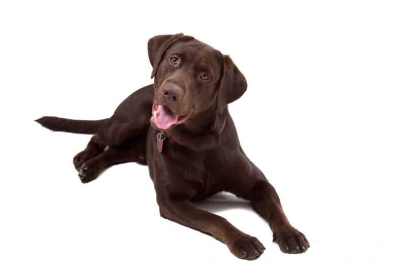 Cute chocolate Labrador Retriever dog