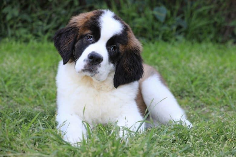 Adorable Saint Bernard puppy lying on the grass