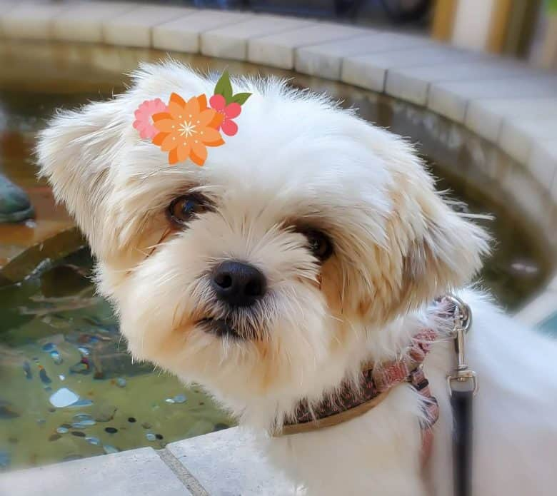 A cute photo of a Shih Tzu Pomeranian mix with a flower picture