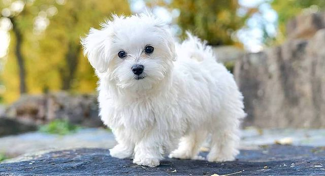 Cute Teacup Maltese dog walking outside