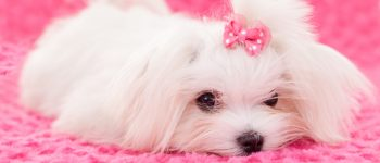 Cute Teacup Maltese dog wearing a pink ribbon is lying on a soft, pink cloth