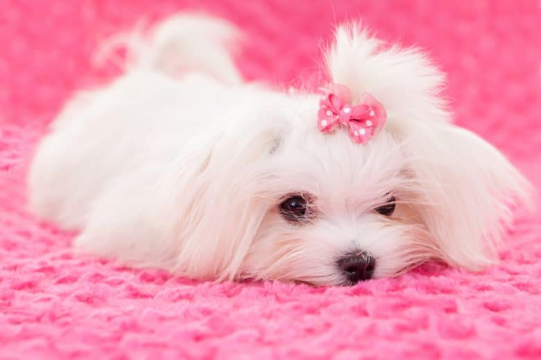Cute Teacup Maltese dog wearing a pink ribbon