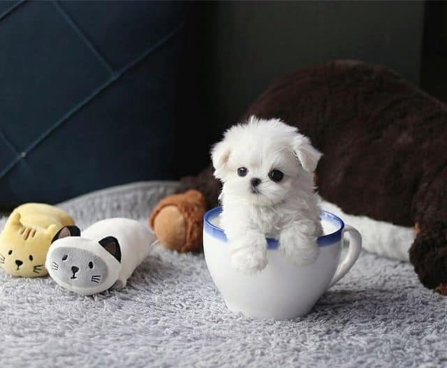 Cute, tiny Teacup Maltese on a literal tea cup