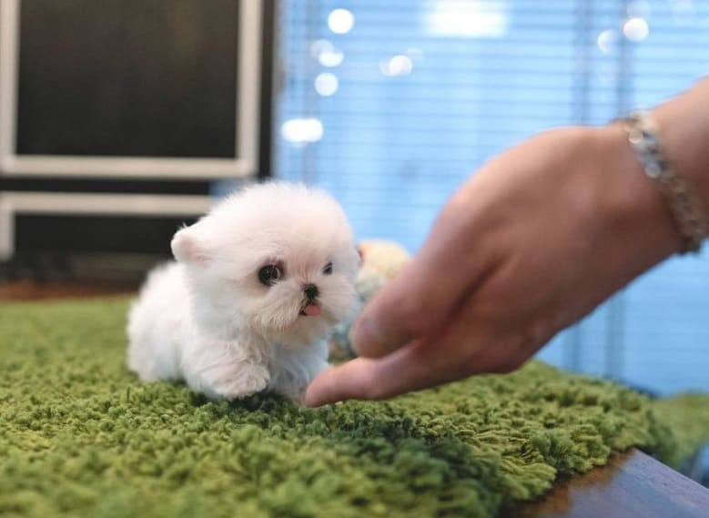 Cute tiny Teacup Maltese
