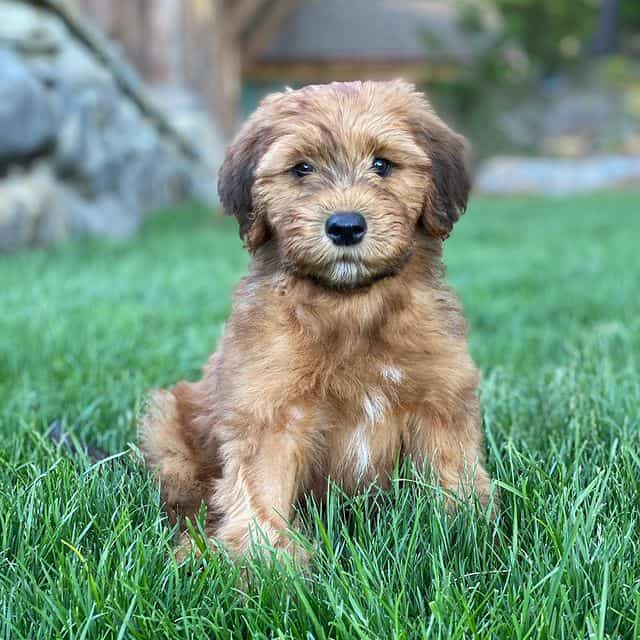 Cute Whoodle puppy sitting on the grass