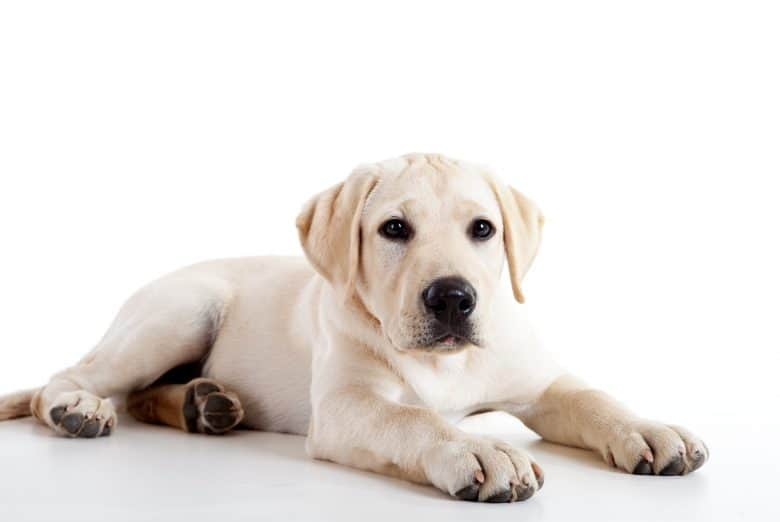 Cute yellow Labrador Retriever dog