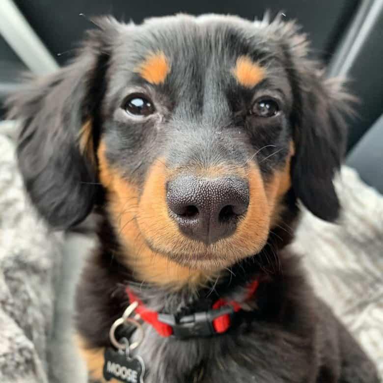 Dachshund Aussie Shepherd mix dog portrait