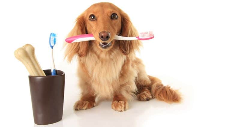 Dachshund dog playing tooth brush