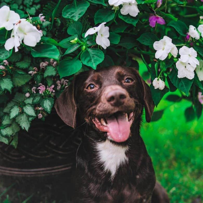 Smiling Dachshund Lab Mix puppy